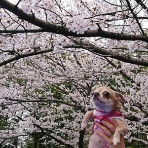 わかば桜4