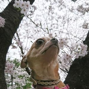 わかば桜5