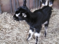 <br /><br />山羊の赤ちゃん