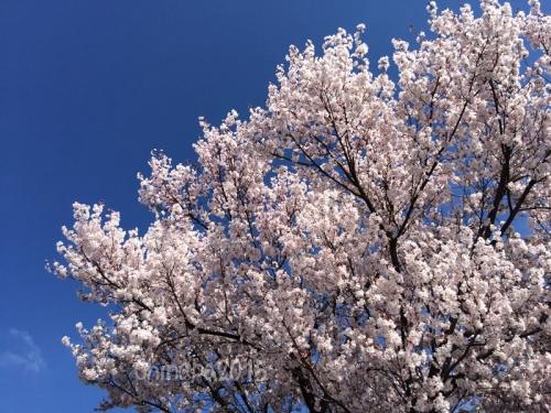 東京の桜2015