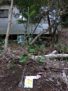 180329-84=レモン(レモネード)苗植え a枕流庵果樹園