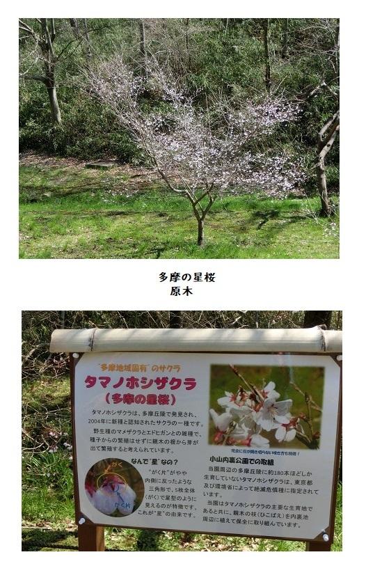 CIMG7296   多摩の星桜