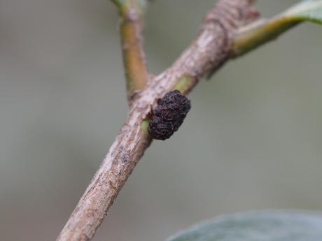 ツバキコブハムシ