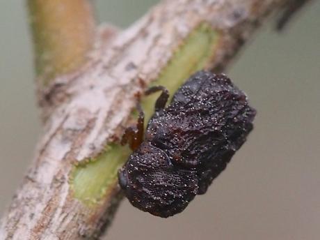 ツバキコブハムシ2