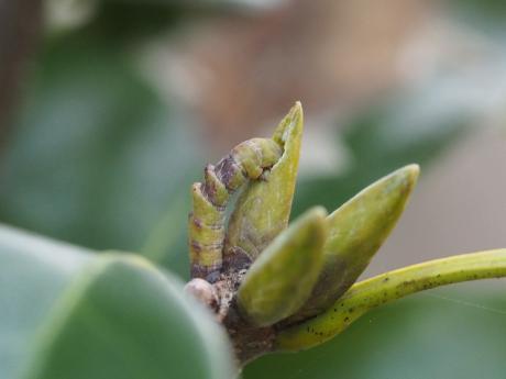 カギバアオシャク幼虫
