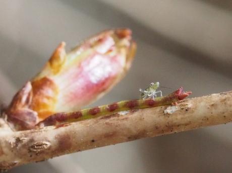 不明幼虫&ヒロバツバメアオシャク幼虫2