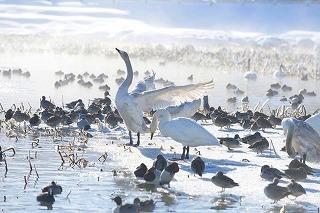 s-青海さんの白鳥、1