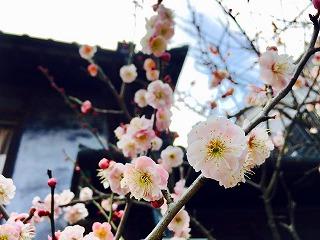 s-上沢さん、梅の花香る