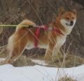 IMG_6425柴犬