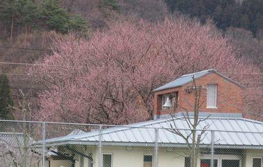 IMG_7959魯桃桜