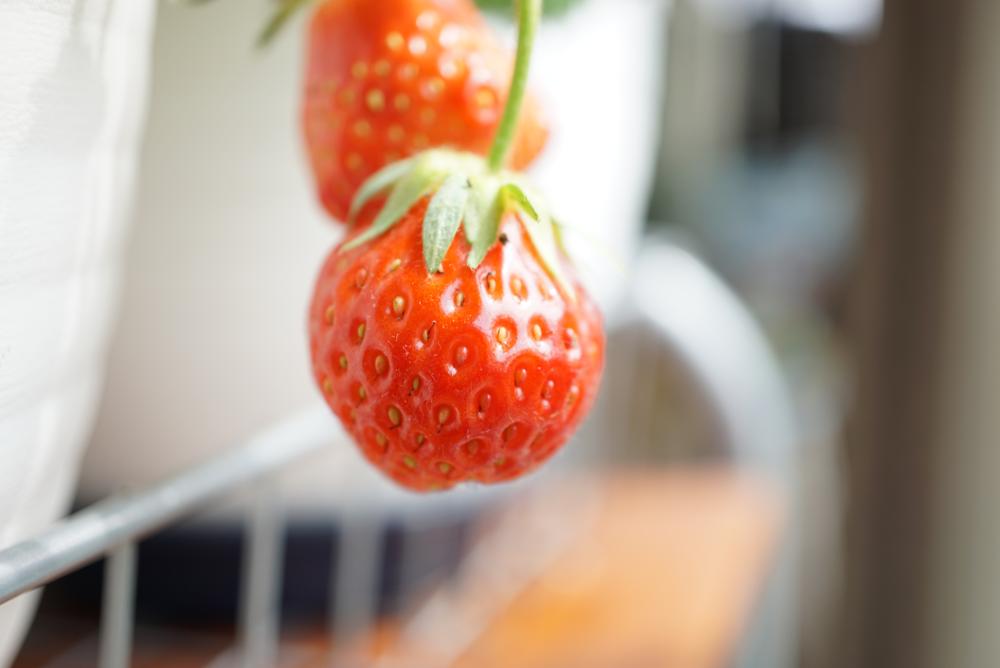 イチゴ収穫前20180402