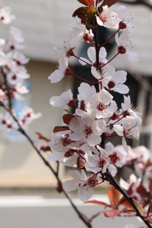 2018 03 27_奈良桜