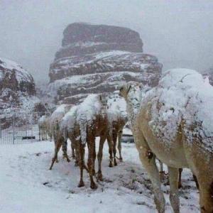 snow_on_camelsサウジアラビア 雪で覆われたラクダ