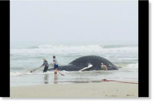 Whale_washed_up_Suフロリダ州フェルナンディナビーチ