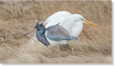 great_egret_tricolourトリコローリングヘロンは米国南東部でよく見られます。