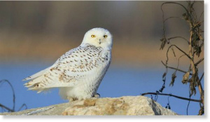 Snowy_Owl_BobGress_Cheney_Stat.jpg
