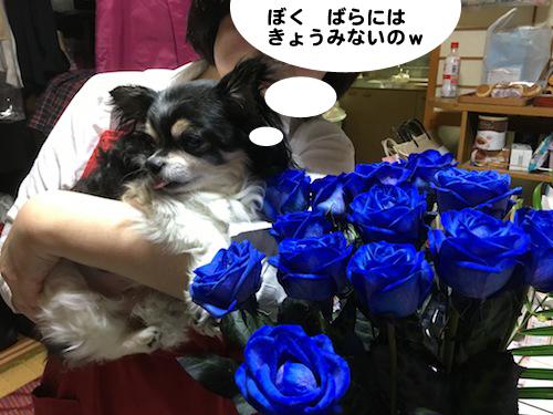 2017年4月20日青バラその12 のコピー