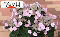 C-ajisai2.jpg
