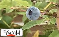 C-bulueberry.jpg