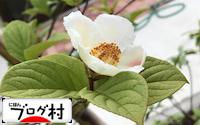 C-sharanoki_20180318082240252.jpg
