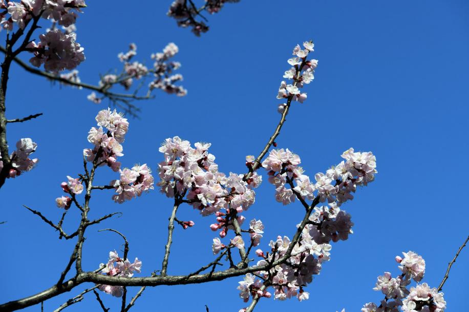 遊歩道脇の桜