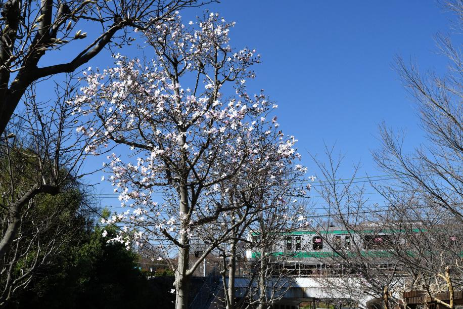 こぶしの花 と 埼京線