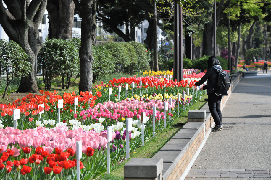 横浜公園のチューリップ 1