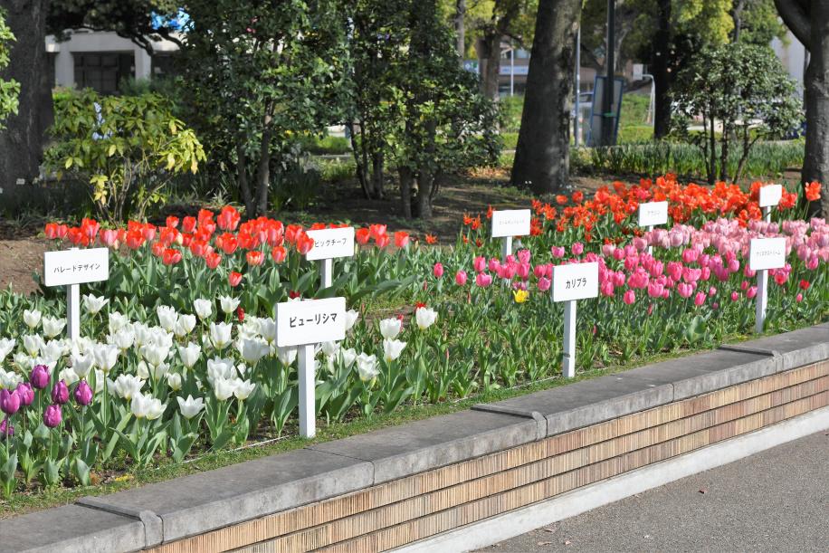 横浜公園のチューリップ 2