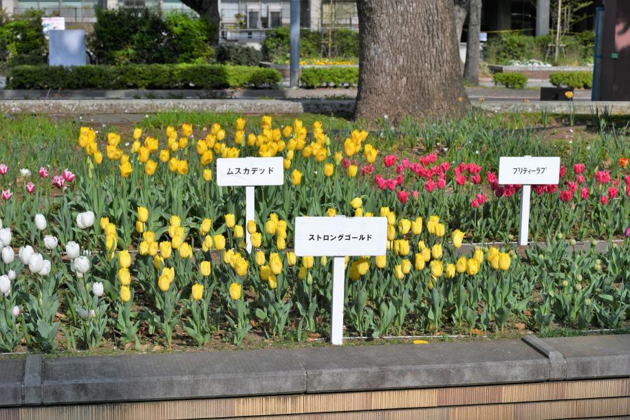 横浜公園のチューリップ 3