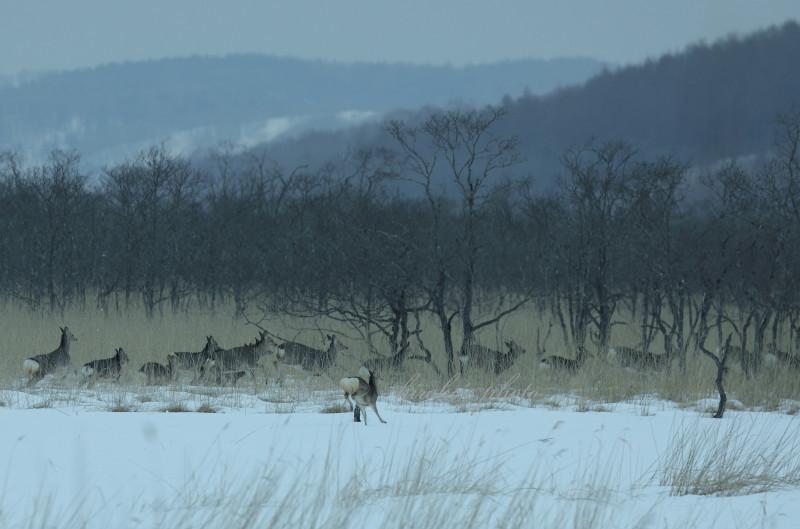 鹿の群れ 08860001署名入りedited