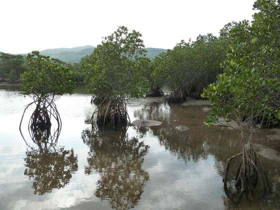 吹通川の河口へ降りればこんなにも間近にマングローブの木を観察することが出来る