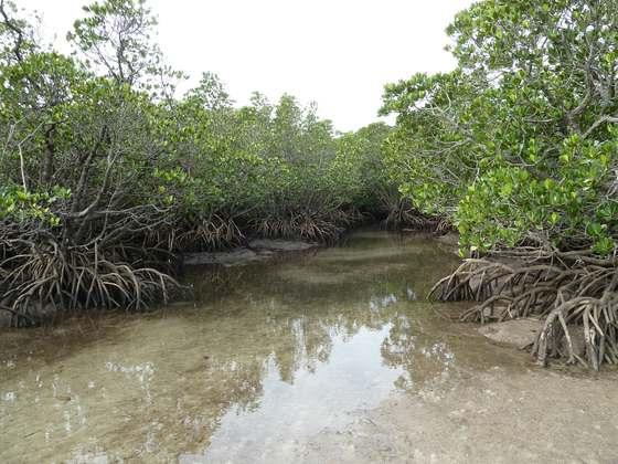 どこまでも続くマングローブの森