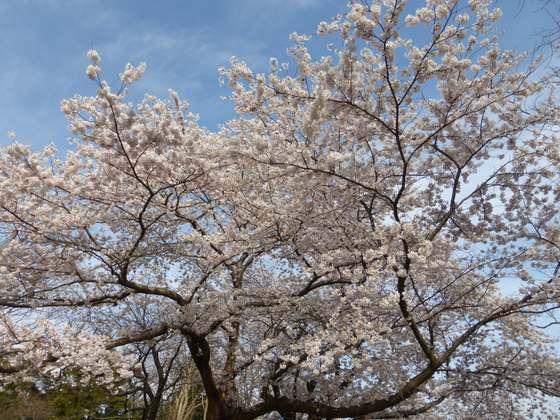 赤坂山公園の桜その2