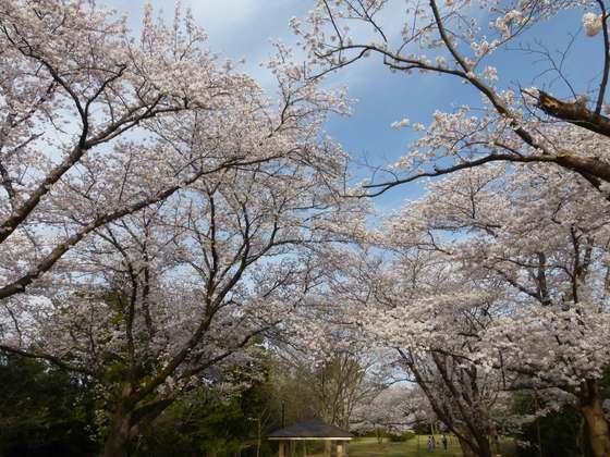 赤坂山公園の桜その3