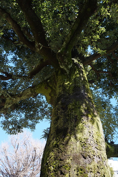 貫禄ある木