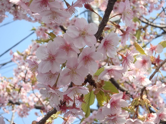 河津桜 3