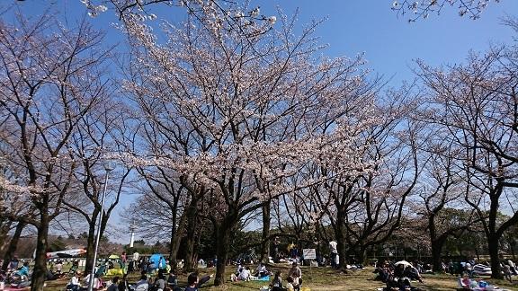 航空公園 桜 2