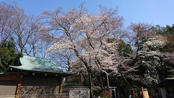 航空公園 桜 4