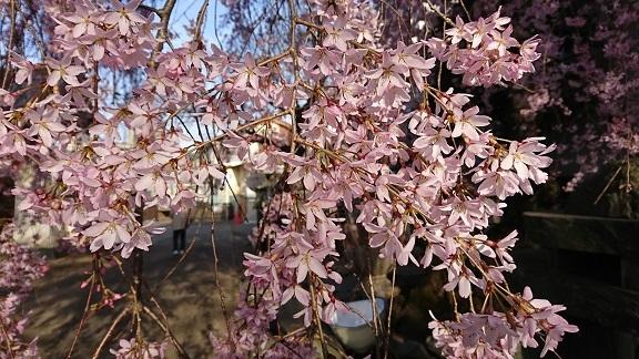 しだれ桜 4