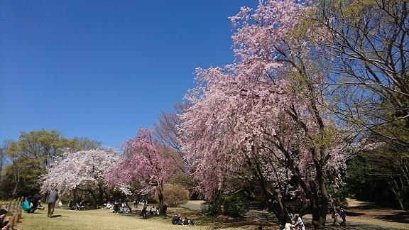 航空公園 桜 7