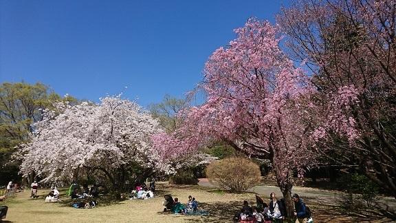 航空公園 桜 8