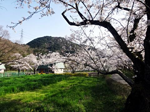 畜産センター_桜並木2018_01