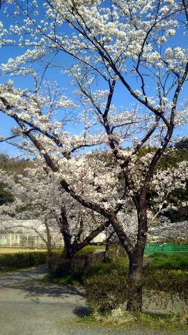畜産センター_桜並木2018_02