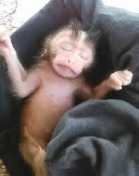 【感動!】事故死した猿が妊婦だった・・・赤ちゃんを助けた女性に感動!(観覧要注意!)