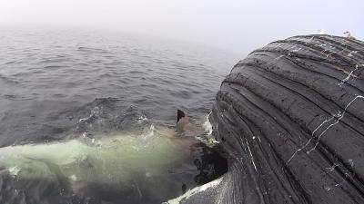 【スゴイ!】メチャクチャでっかいクジラにサメが食らいつく!