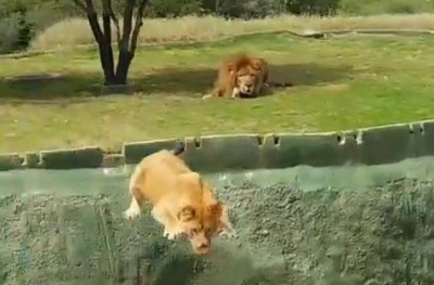 【衝撃!】サファリパークでライオンが自殺???