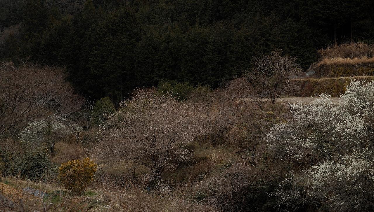 A02求菩提の梅