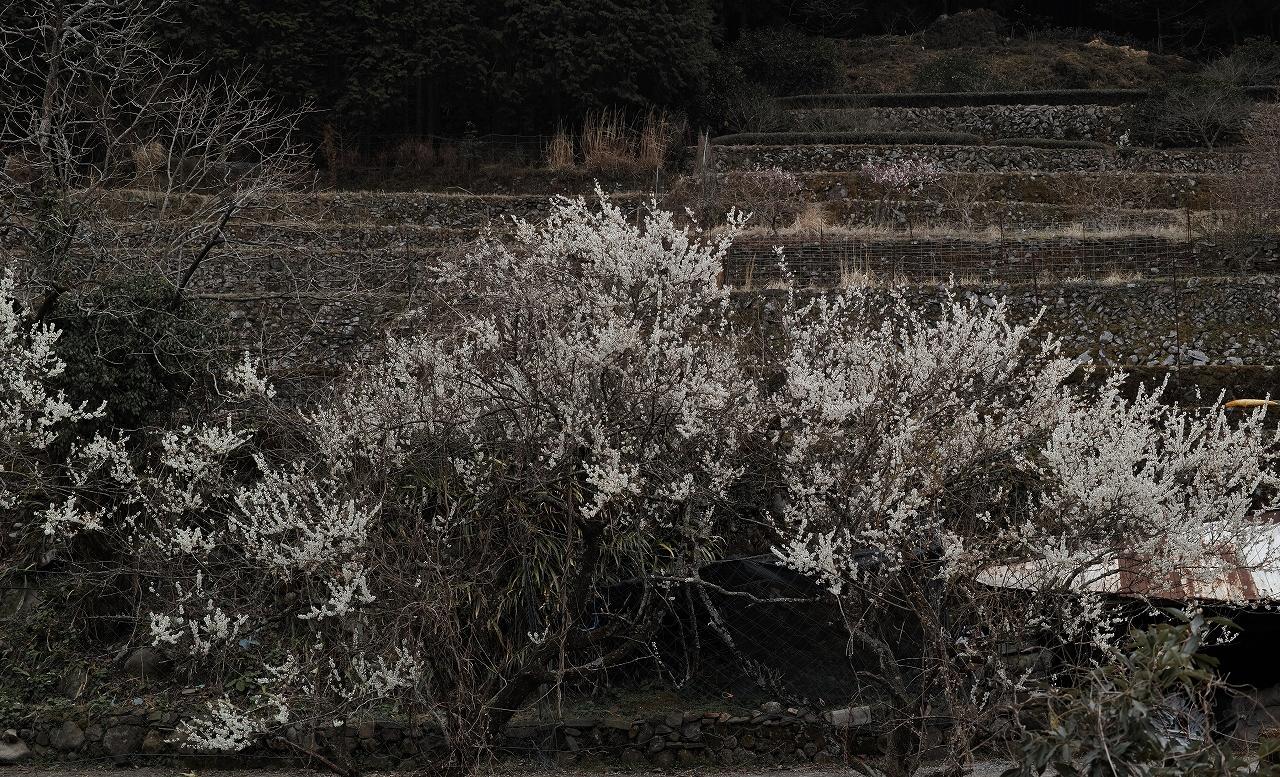 A01求菩提の梅