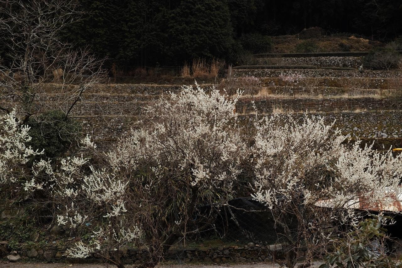 A05求菩提の梅