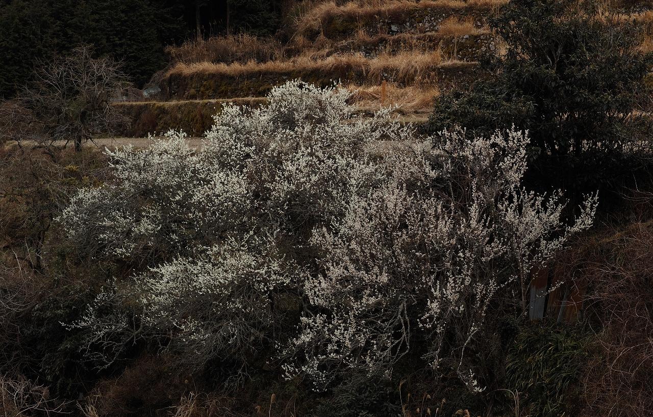 A04求菩提の梅